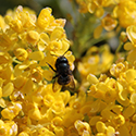 Photo of a Mason Bee on yellow flowers.
