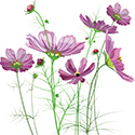 Photo of a drawing of lavendar wild flowers.
