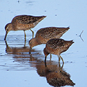 Photo of Dowitcher birds.