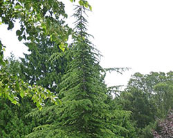 A coniferous pine tree stands tall in a forest