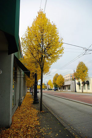 Trees along Washington Street in Hillsboro