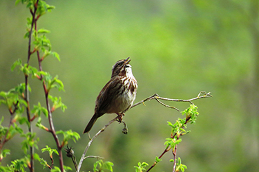 Song Sparrow Singing.