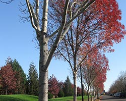 Autumn trees with red leaves in a City park
