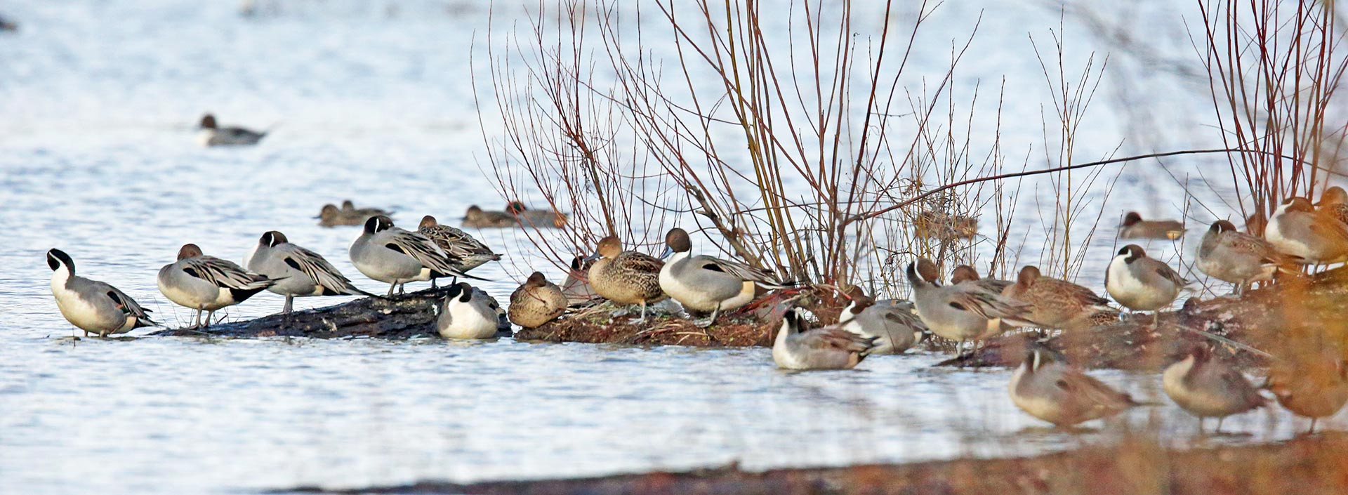 A flock of ducks perch near a snow-covered pond at Jackson Bottom Wetlands