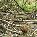 Trail camera captures a mink.