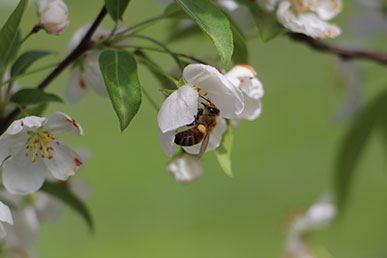 A bee pollinating a small white flower