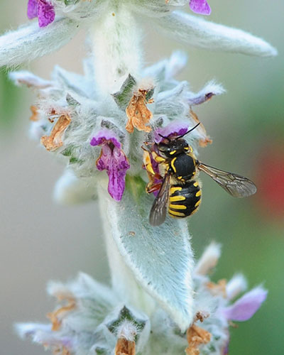 A European wool carder bee pollinates a native plant