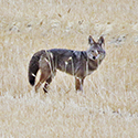 Photo of coyote in a field.