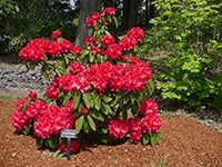 Red rhododendron at Rood Bridge Park
